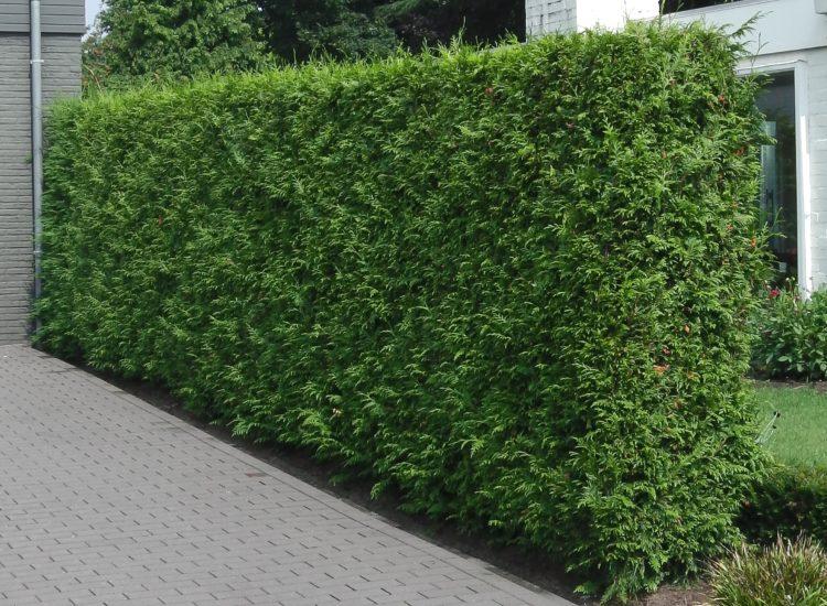 Gardul viu vesnic verde – SMARAGD sau BRABANT ?