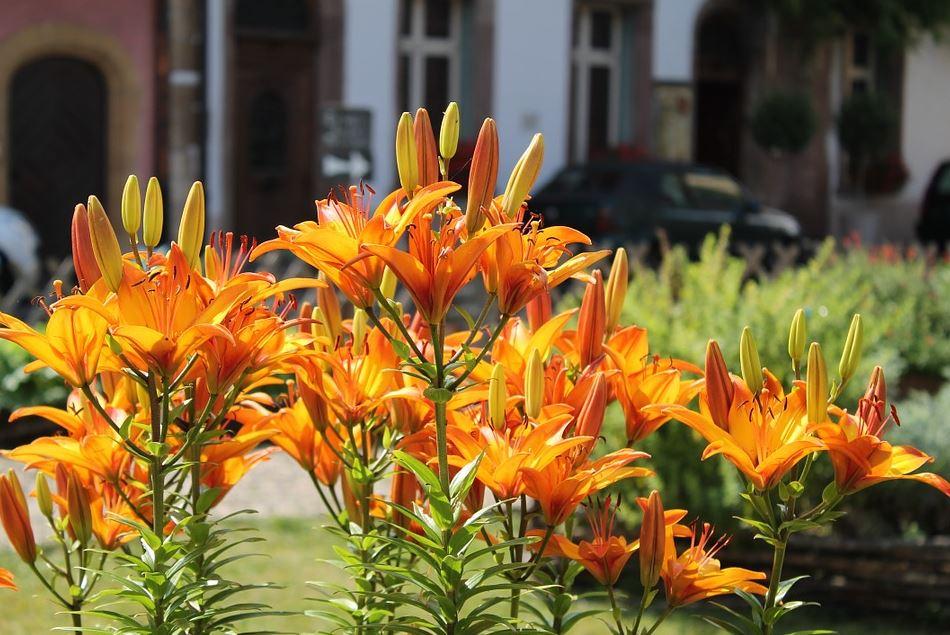 Hemerocallis – crinul de vara